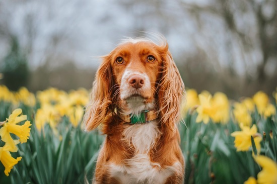 red cocker spaniel in daffodils