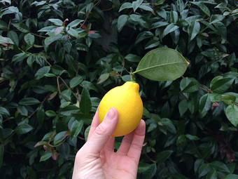 Proud homegrown lemon moment.