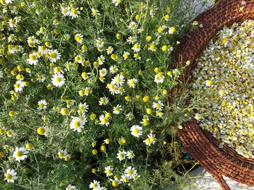 Home Grown Camomile in Kent
