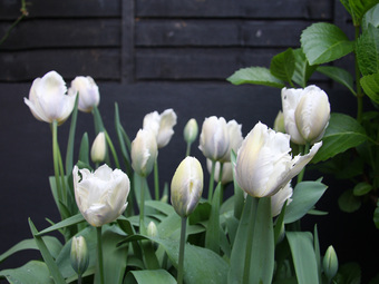 Snow Parrot tulips this year.