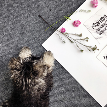 Skyler the Miniature Schnauzer supervising a product shoot