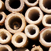 A mason bee taking shelter in a bee tube