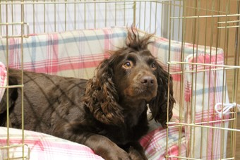 Cocker Spaniel on tweed dog crate cushion