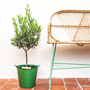 Olive tree growing in green pot