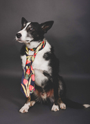Sheepdog, Border Collie wearing a beautiful silk tie.