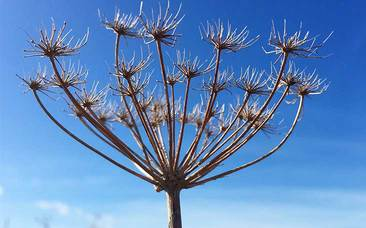 Striking seedhead pictured against a bright blue sky
