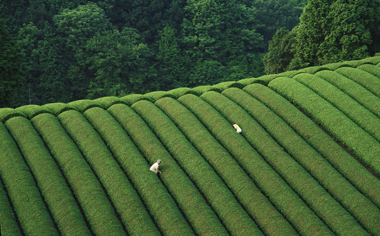 Matchaeologist Matcha Tea Fields