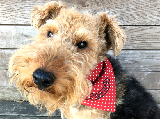 Edwyn wearing our personalised neckerchief